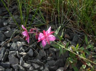 chamerion_latifolium